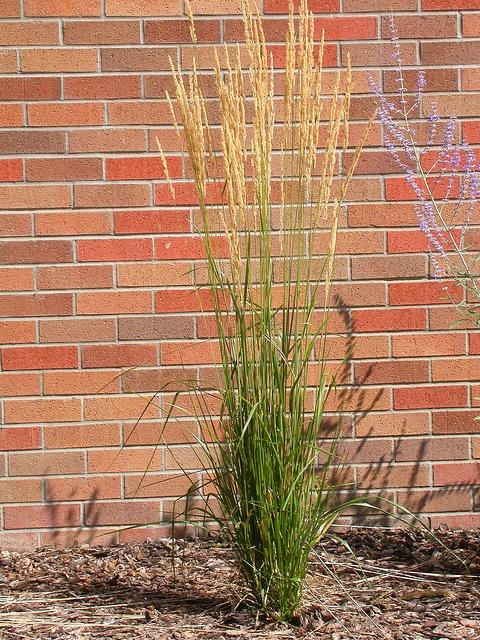 calamagrostis x acu 39 karl foerster 39 p pini re cramer inc. Black Bedroom Furniture Sets. Home Design Ideas