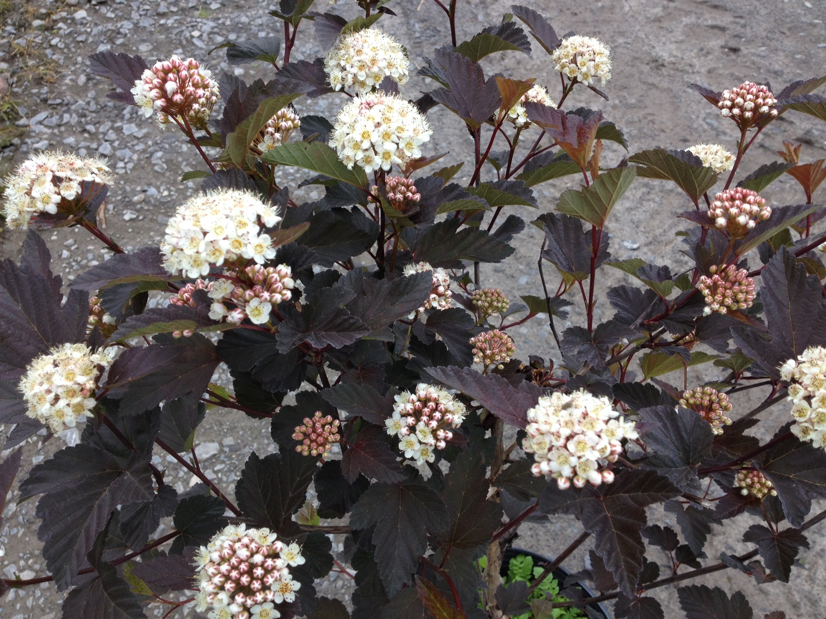 physocarpus opulifolius 39 diabolo 39 p pini re cramer inc. Black Bedroom Furniture Sets. Home Design Ideas