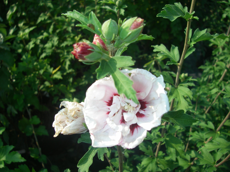 hibiscus syriacus 39 morning star 39 p pini re cramer inc. Black Bedroom Furniture Sets. Home Design Ideas